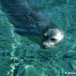 Monk seal.